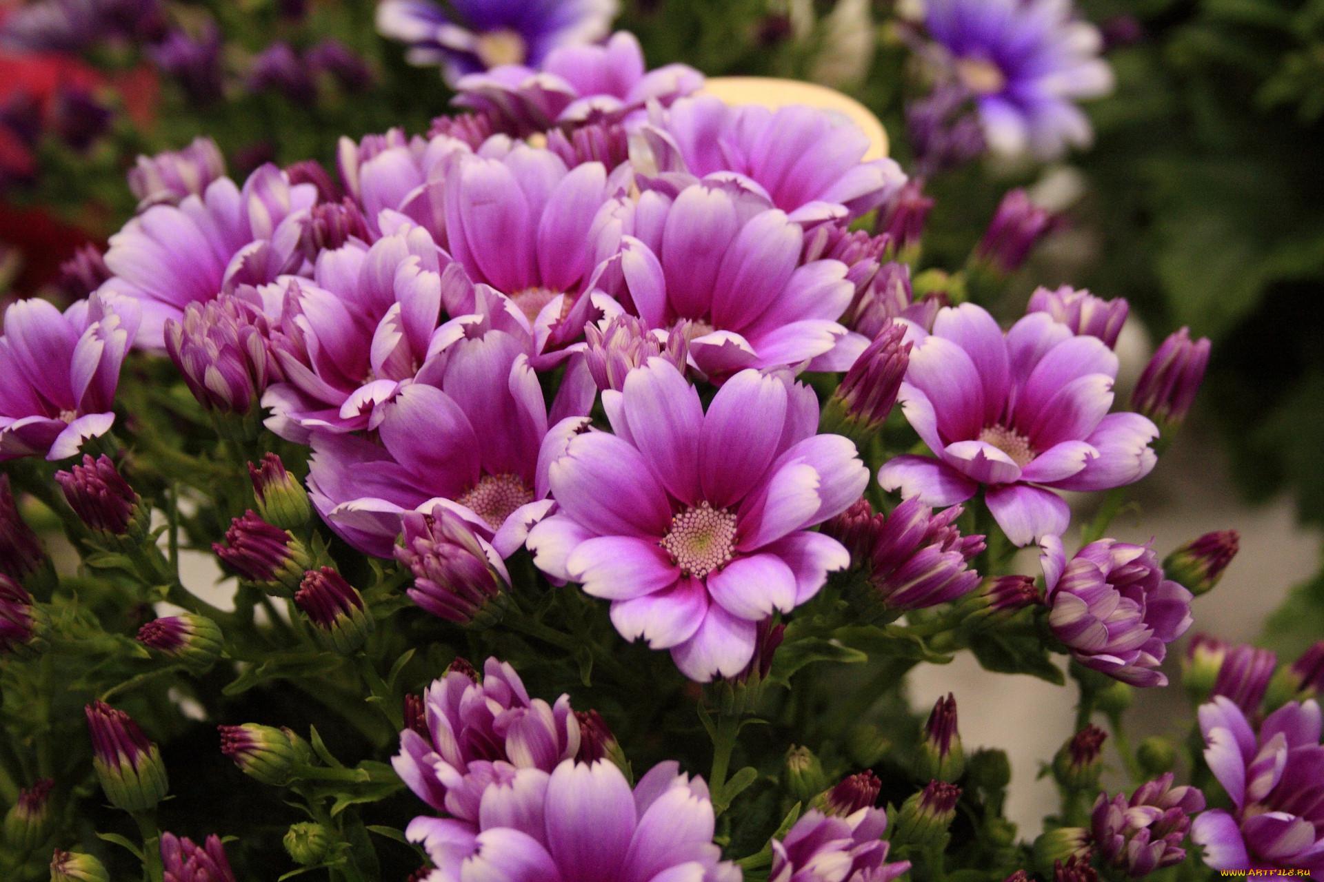 Цветы цинерария кровавая фото